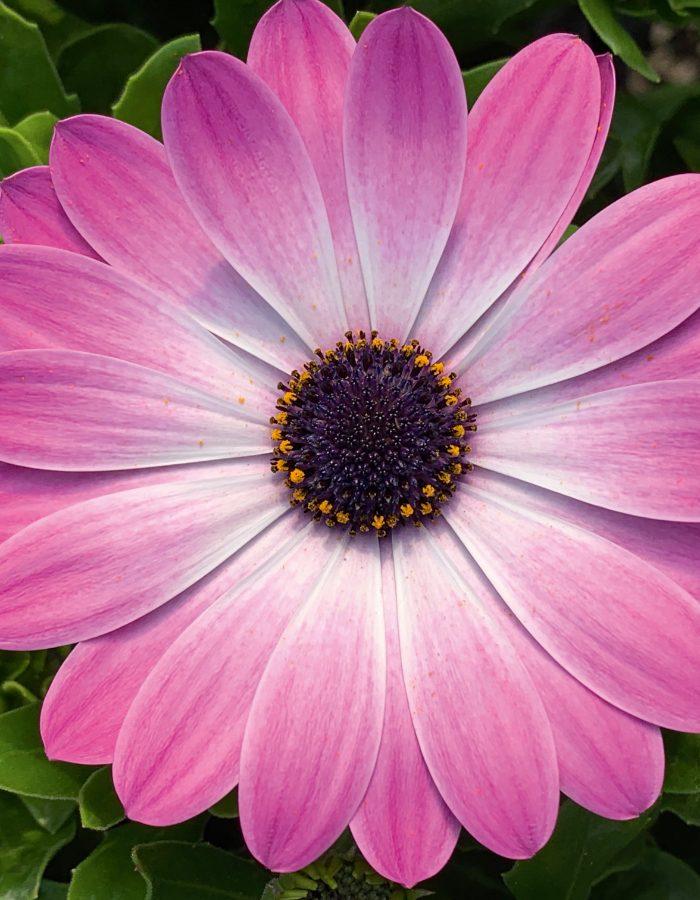 05559_Pink_Eye_21