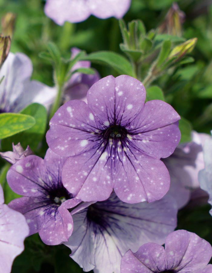 07411_LavenderSky