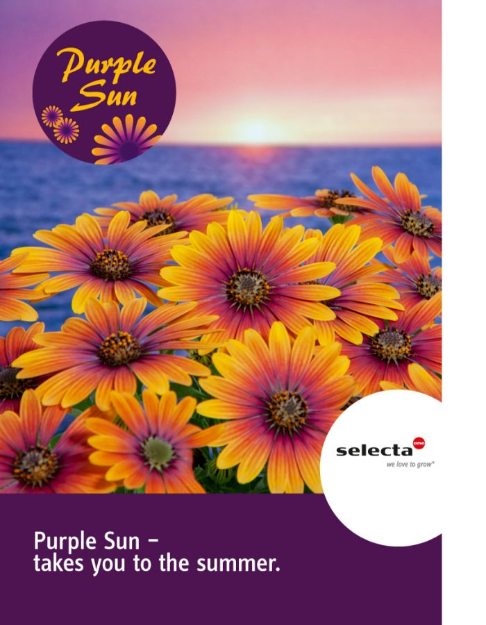 5_Osteospermum_PurpleSun-poster