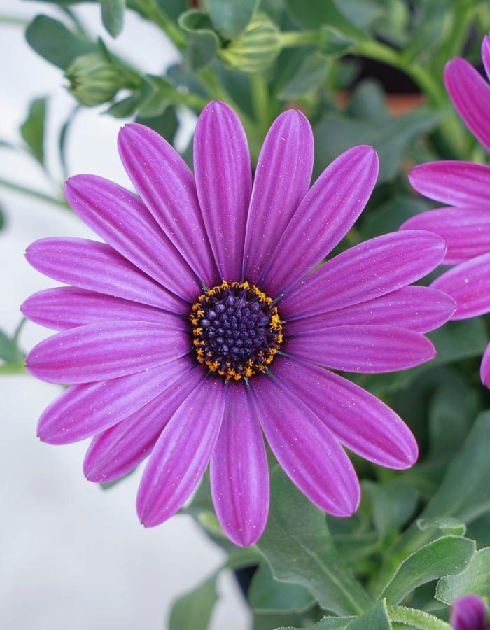 5_Osteospermum_Violet