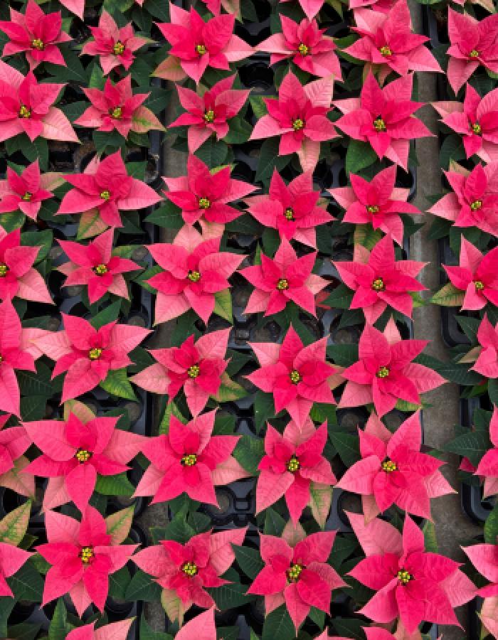 ChrBeauty_Pink