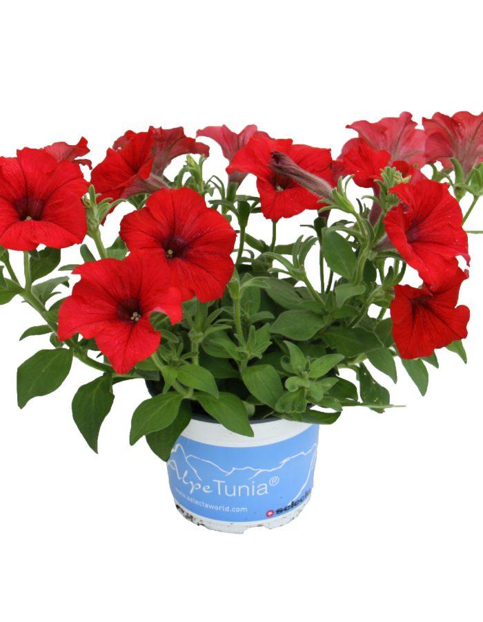 Marketing_Petunia_AlpeTunia-3