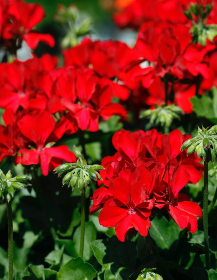 Pelargonium_Marcada_02