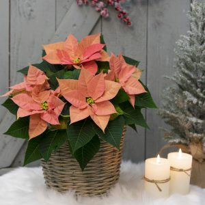 Poinsettia_Chr_Beauty_Cinnamon_Mood_03243 (1)